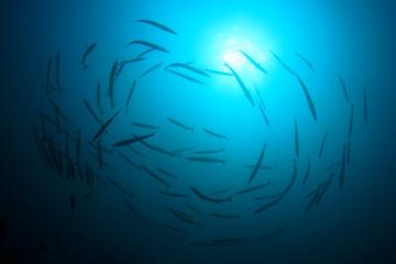 Silhouette fish school Barracuda