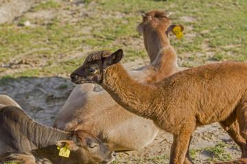 brown baby alpaca