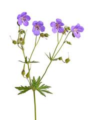 Four flowers of a purple geranium cultivar on white