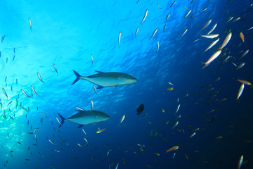 Trevally fish hunting over coral reef