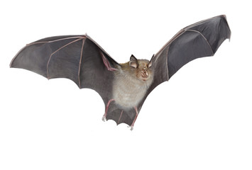Horseshoe bat isolated
