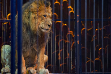 Circus lion portrait in a cage