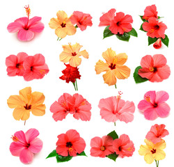 Collection of colored hibiscus with leaves