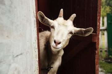 Goat Fototapete