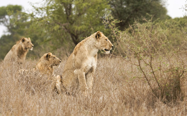 three lions in the bush, Kruger, South Africa