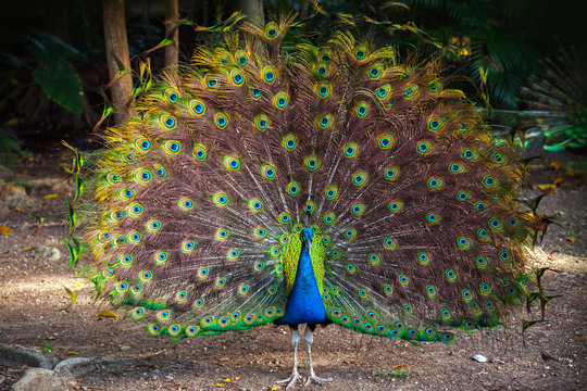 Wild Peacock goes in dark forest with Feathers Out