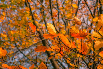 Autumn leaves in in a colorful forest