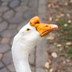 Portrait head of goose