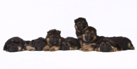 Complete German shepherd litter