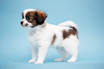 Puppy on a blue background