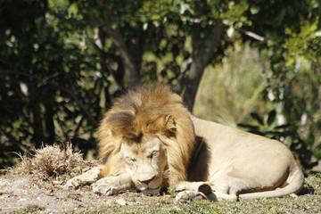 African Lion sleeping - Miami Metro Zoo