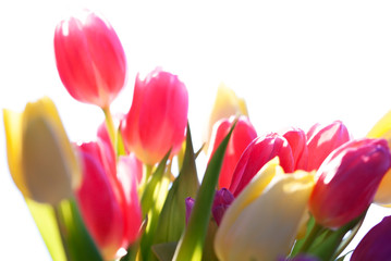 Fotobehang Tulp Close Up Of Tulip Flower Meadow Isolated And Sunny