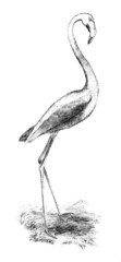 Victorian engraving of a flamingo.