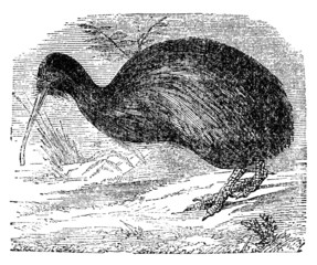 Victorian engraving of a kiwi bird.