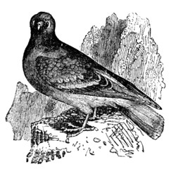 Victorian engraving of a rock dove, or pigeon.