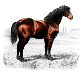 Victorian engraving of a horse.