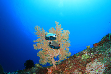 Coral reef with butterflyfish pair