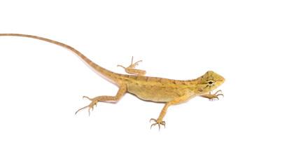 chameleon isolated on white background