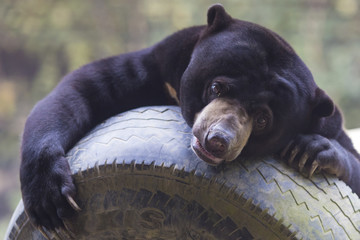 Picture of Malayan sun bear
