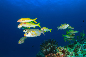 School of fish in ocean: goatfish, emperors and snappers