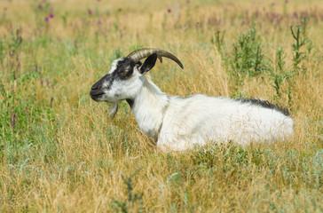 Goat female having rest in herbs