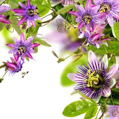 Wall Mural - Passifloras: x belotti, incarnata, violacea, Kaiserin Eugenie :)