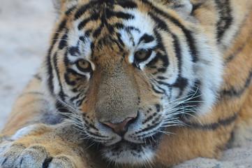 sad tiger