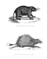 Victorian engraving of a porcupine.