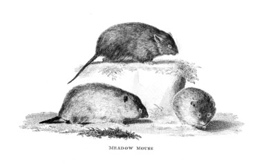 Victorian engraving of a meadow mouse.