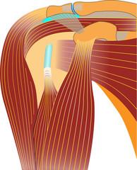 Schultergelenk - Anatomie