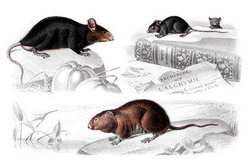 Victorian engraving of mice and rats.