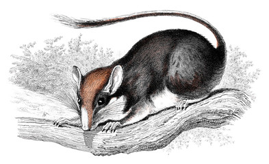 Victorian engraving of a wood mouse.