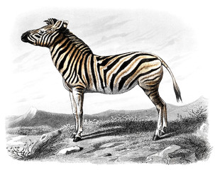 Victorian engraving of a zebra.