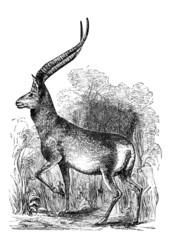 Victorian engraving of an antelope.