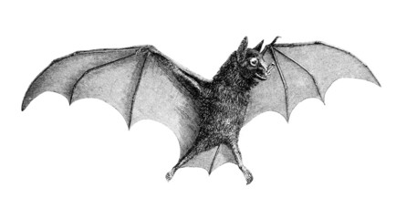 Victorian engraving of a bat.