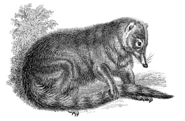 19th century engraving of a coati