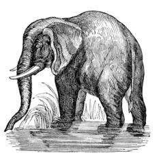 19th century engraving of an African elephant