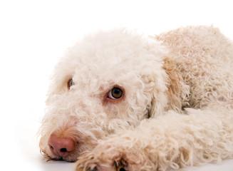 Hundekopf