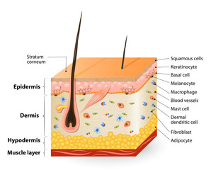 different cell types populating the skin