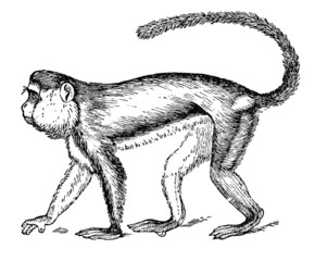 19th century engraving of a monkey or guenon
