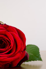 single red rose with space for your text