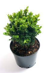 Buxus sempervirens in a pot