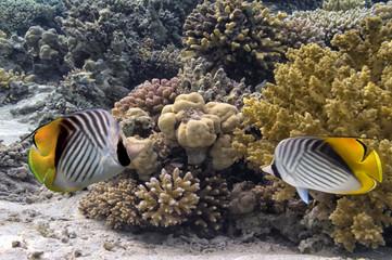 Wall Mural - Threadfin butterflyfish (Chaetodon auriga)