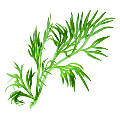 Dill isolated on white background