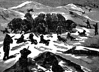 Victorian engraving of a musk-ox hunt
