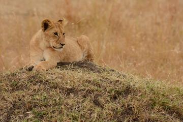 Poster Leeuw baby lion
