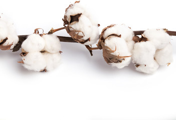 Brunch of cotton plant on white background