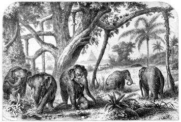 Wall Mural - Victorian engraving of a  herd of elephants