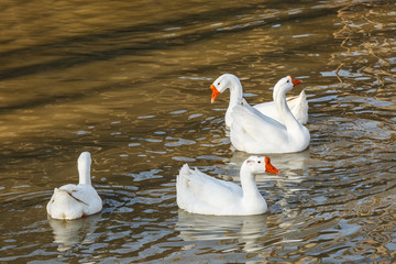 White geese swimming in the pond