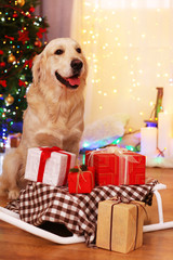 Labrador sitting near sledge with present boxes